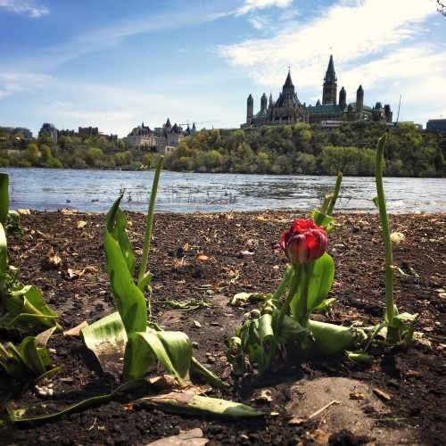 Photo of tulip and Ottawa flood by Danielle Donders