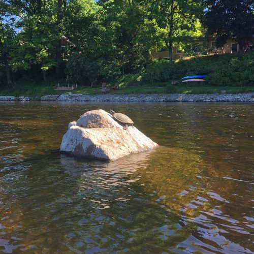 A turtle on a rock in the Rideau River