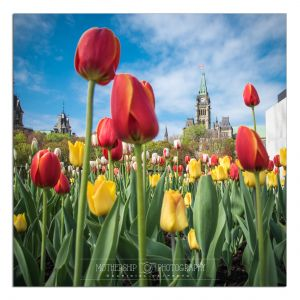 Tulips and Peace Tower 2018-c17.jpg